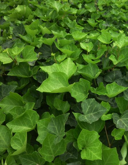 California Ivy