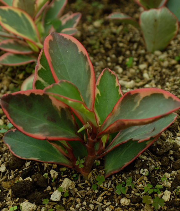 Planta ornamental Peperomia Ginny