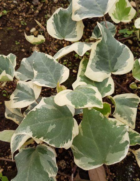 Planta ornamental para cubrir paredes