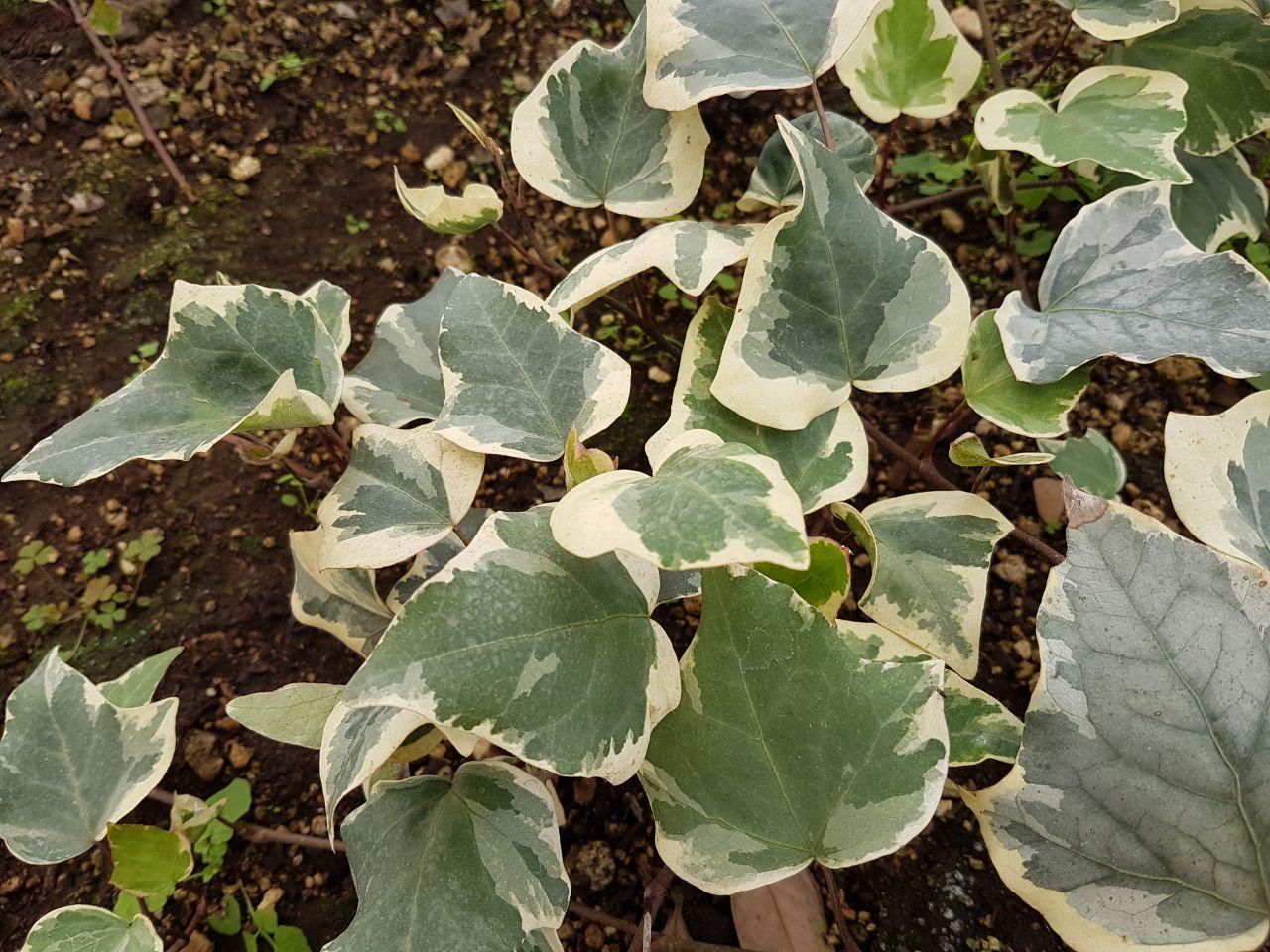 Gloria marengo concisa guatemala for Una planta ornamental