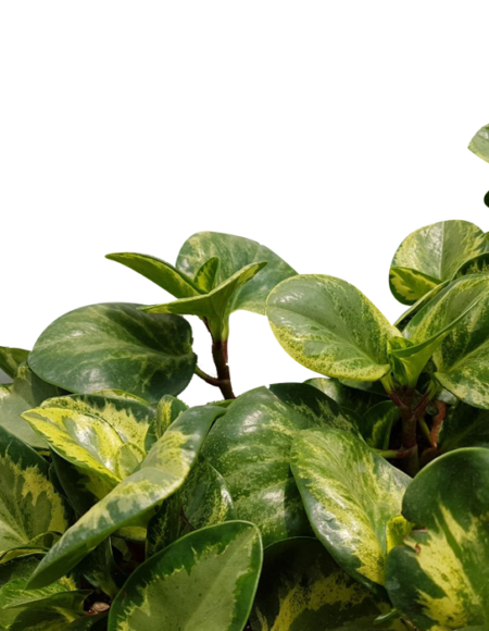 Peperomia Golden Gate