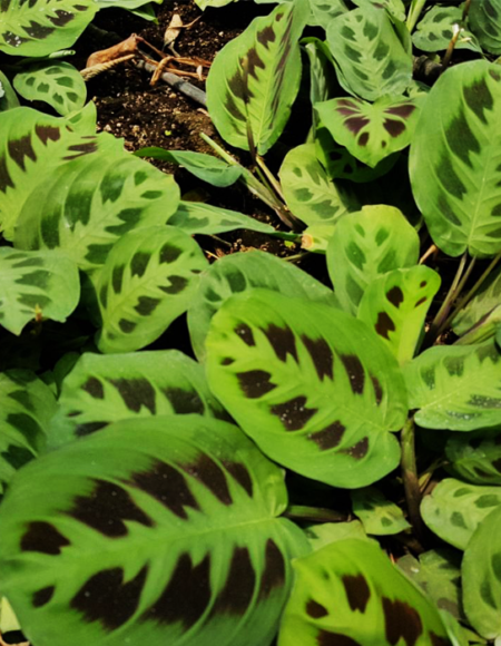 Planta ornamental Green Maranta