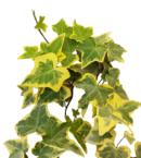 Gold Child Ivy Planta