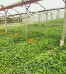 English Ivy en plantación