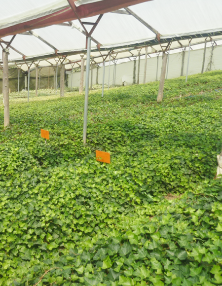 English Ivy en plantación