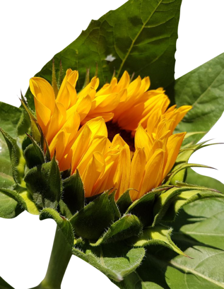 Girasoles, flor de corte