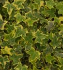 Gold Child Ivy