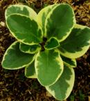 Peperomia Variegated en Guatemala
