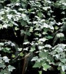 Glacier Ivy planta ornamental