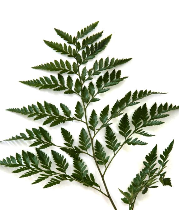 Leather Leaf Guatemala