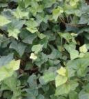 Ralph Ivy, plantas ornamentales